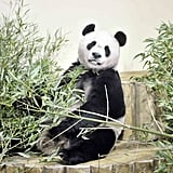 Unbearably Cute Guests Cause Panda-monium in Scotland