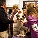 Grand Champion Oakhurst Crusin' in Chrome, an Australian Shepard, gets lots of love for winning Best of Opposite Sex.
