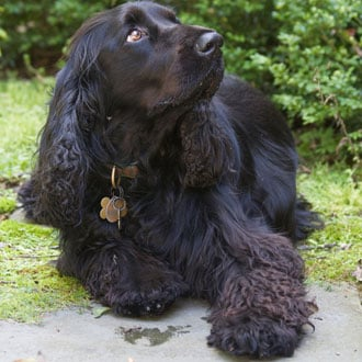 Guess What Breed Super Quiz: All Spaniel Edition!