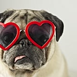 Cute Pictures of Pugs
