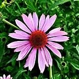 Try Echinacea