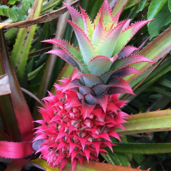 What Is a Pink Pineapple?
