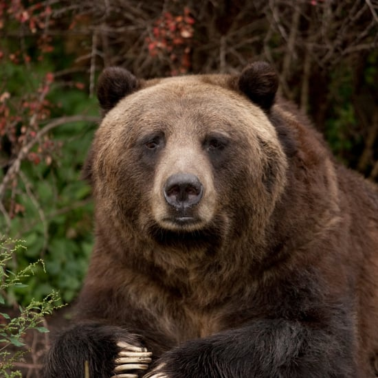 How Is Climate Change Affecting Grizzly Bears?