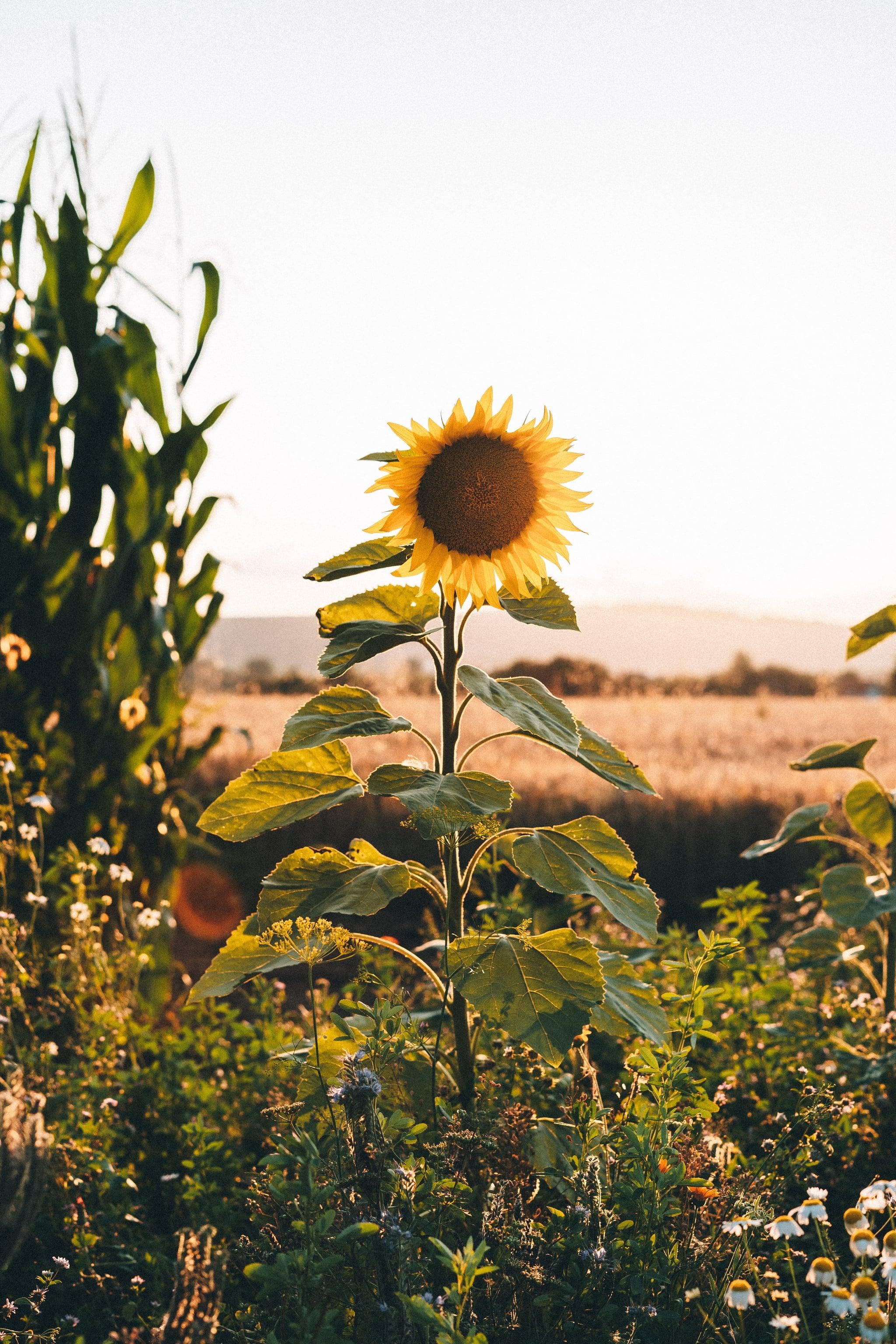 Sunflower iPhone Wallpaper