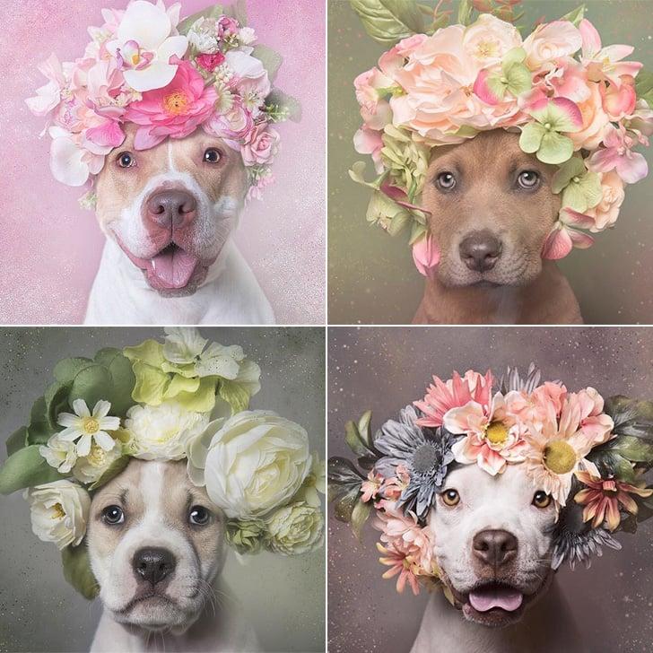 Pitt Bull Dogs Wearing Flower Crowns