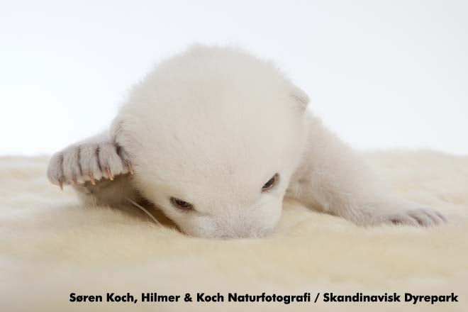 Photos and Video of Siku the Baby Polar Bear