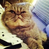 PopSugar Associate Editor Katie Henry's Exotic Shorthair, Sookie, is a cute kitty of the smush-faced variety.