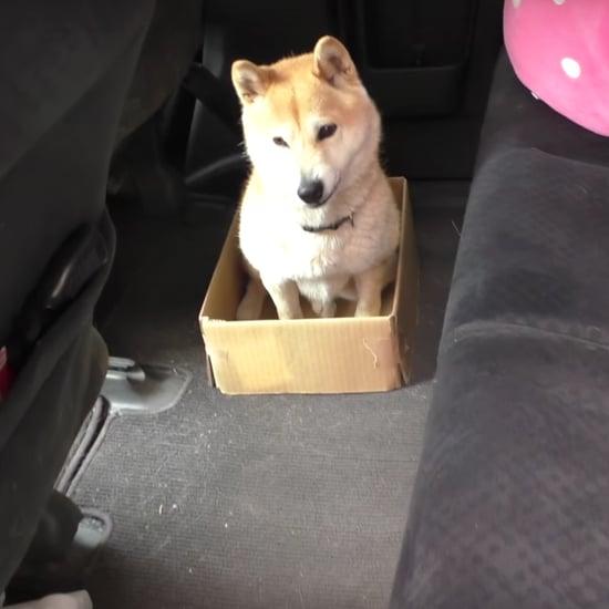 فيديو لكلب يجلس داخل الصندوق