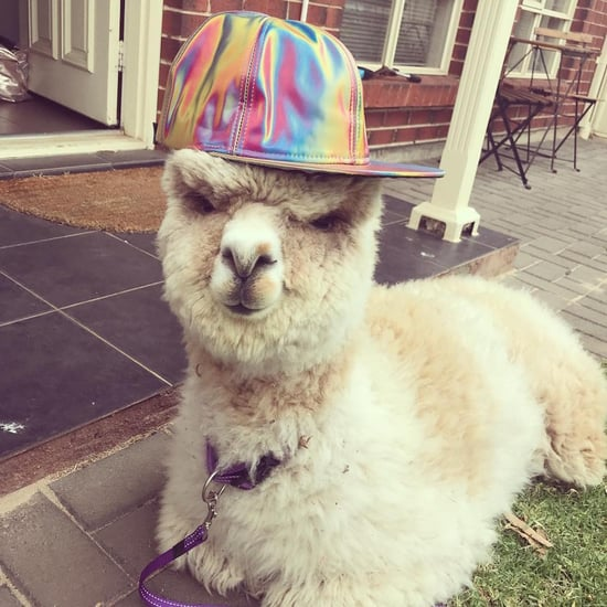You Need to Follow This Instagram-Famous Alpaca Named Alfie