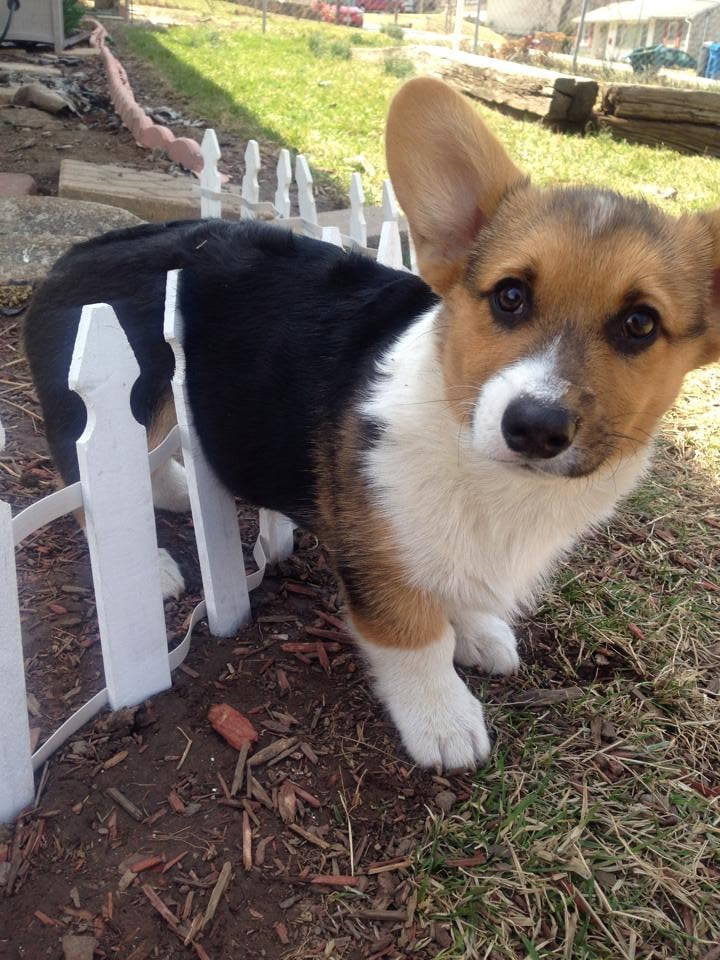 As far as we're concerned, everybody loves a Corgi. From their giant ears to their tiny little legs, what is there not to love about them? We've rounded up some of our favorite pictures, videos, and GIFs of Corgis here, so you can maximize your Corgi-viewing fun. Check it out!