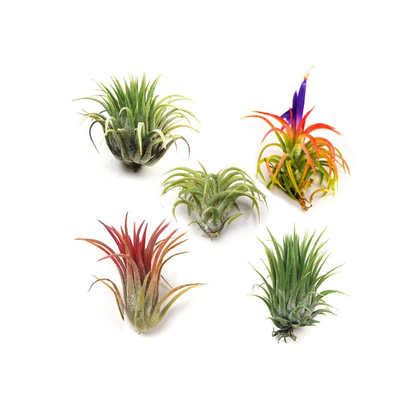 The Air Plant Shop Air Plants
