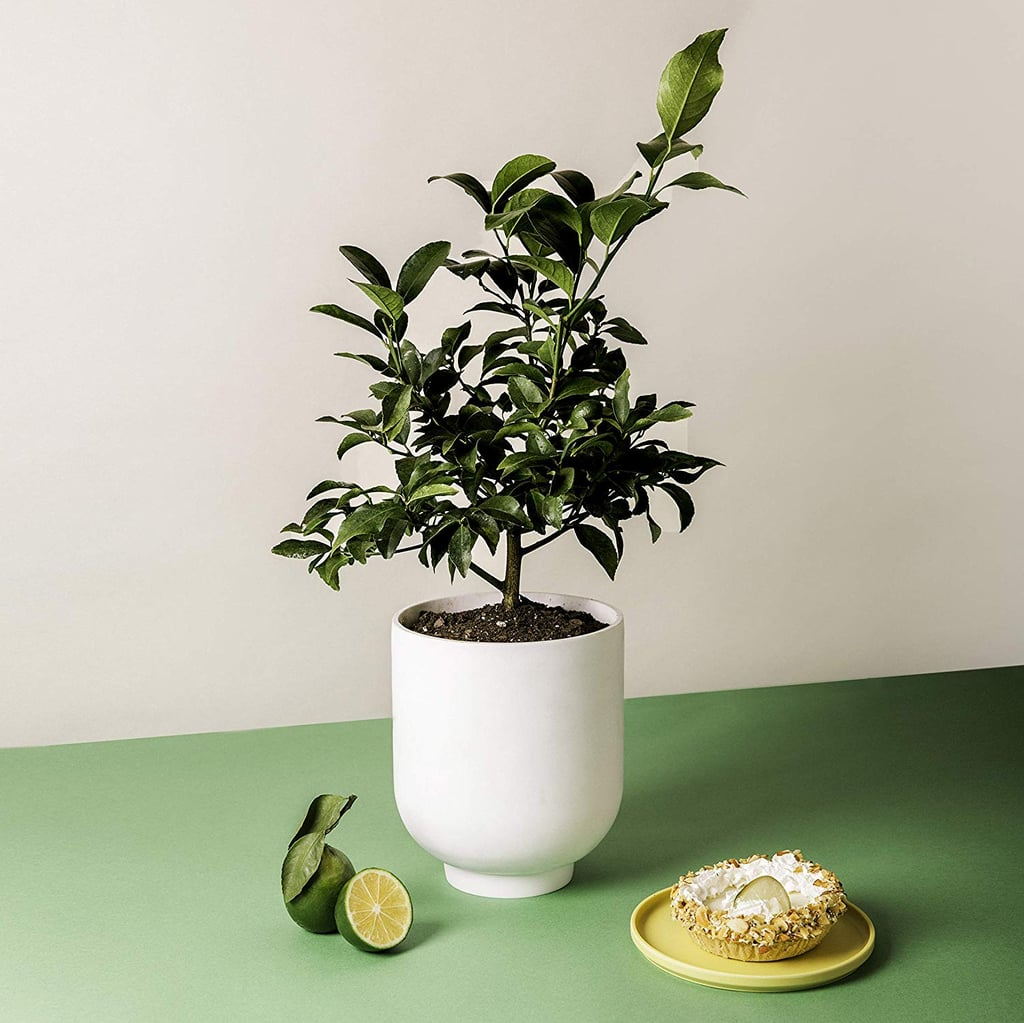 Key Lime Citrus Plant