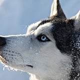 Cute Pictures of Huskies