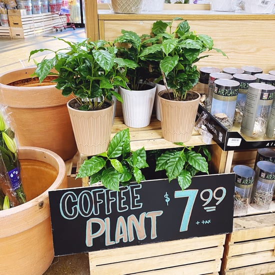 Coffee Plants For Sale at Trader Joe's