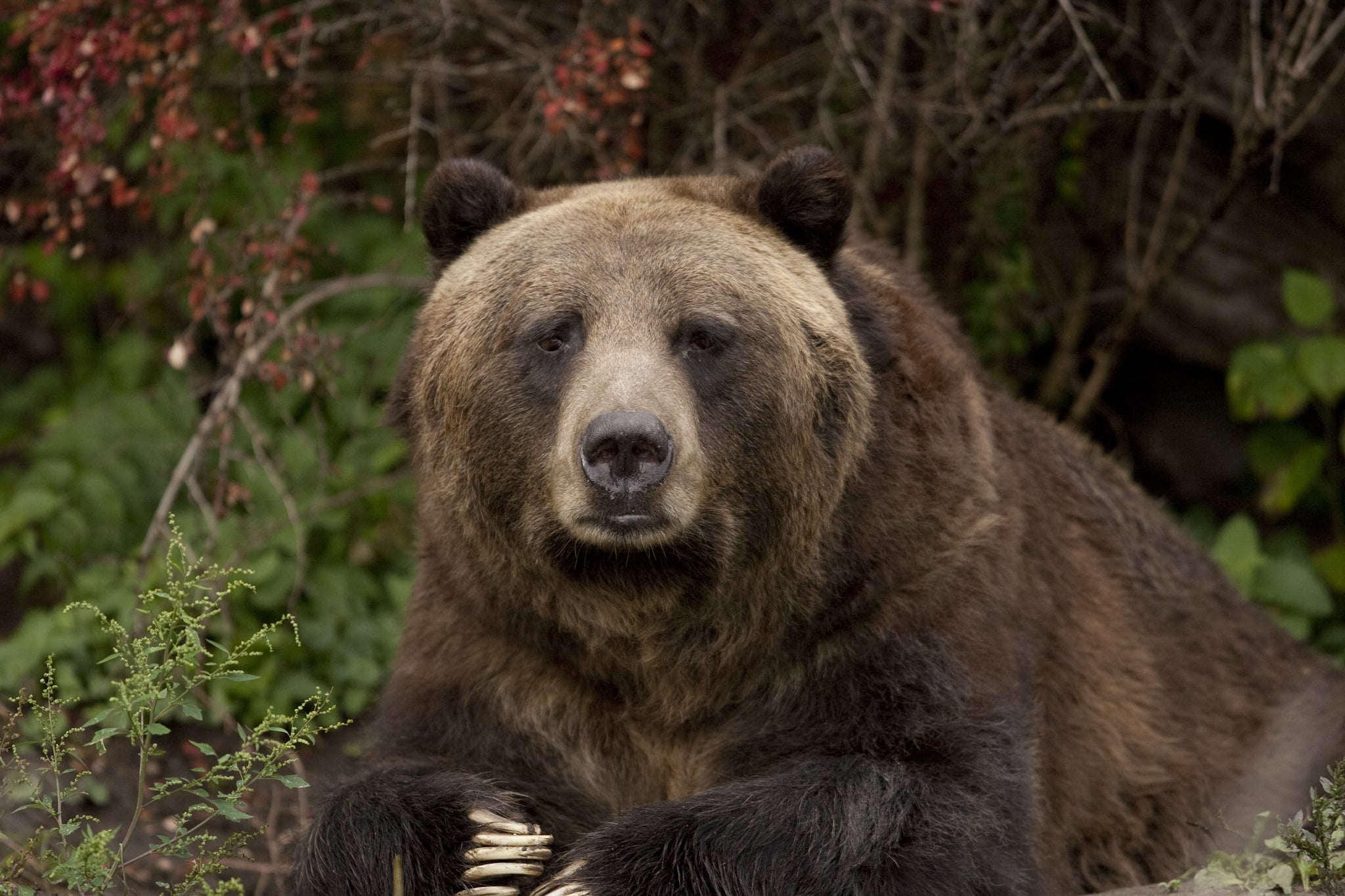Climate change makes grizzly bears go vegetarian