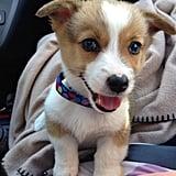 This adorable Corgi puppy