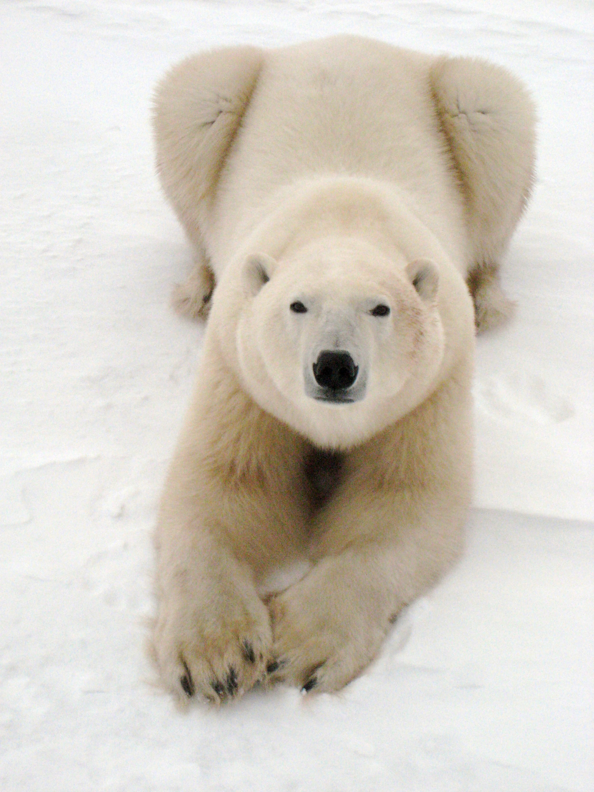 Adult polar bears can weigh between 750 and 1,500 pounds, which means they might not be the best for a cuddle. Photo courtesy of Warner Home Entertainment