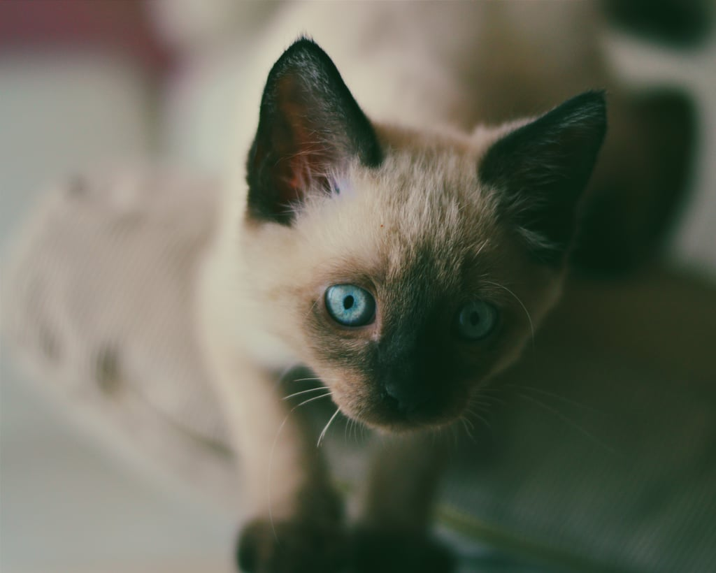 This little Siamese has the prettiest eyes.