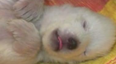 Month Old Polar Bear Takes a Nap