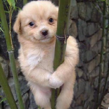 It's my own personal belief that I climb bamboo better than koalas do. Source: Flickr user Mistur Pants
