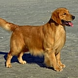 Connecticut's Dog: Golden Retriever