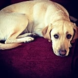 FitSugar Contributing Editor Jaime Young showed us her Yellow Lab, Zoe, who has the most adorable puppy-dog eyes ever.