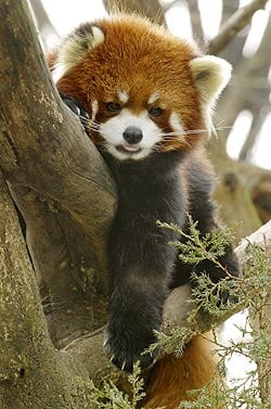 Creature Features: Red Pandas
