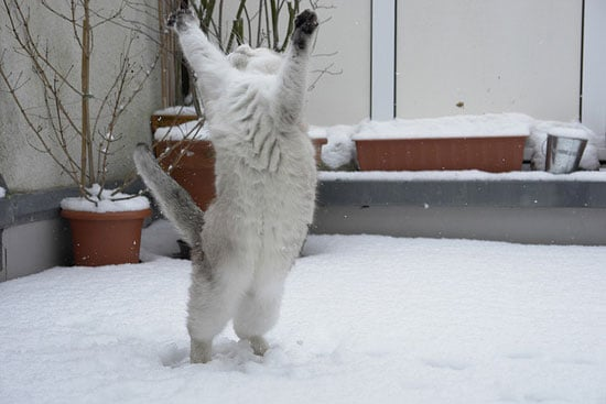 This furball can't contain her excitement at the falling flakes!  Source: Flickr user Tscherno