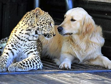 A Leopard And A Golden Retriever Fall In Love And Other