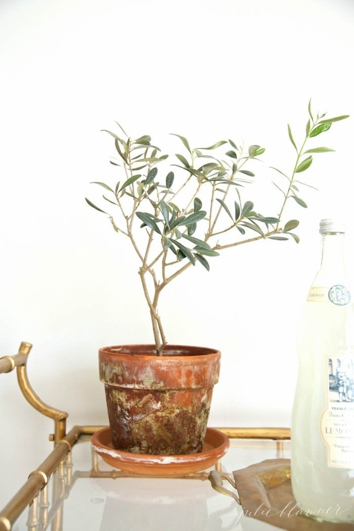 How To Care For Potted Olive Trees Popsugar Home