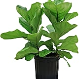 Ficus Pandurata in Pot ($30)