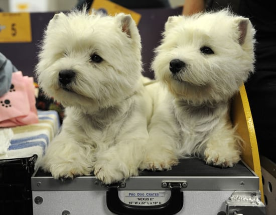 Facts About Westies