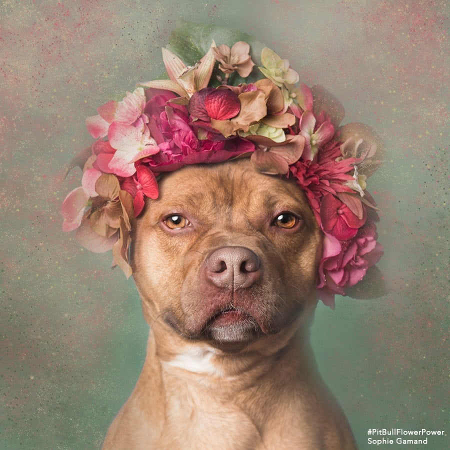 Pit Bulls in Flower Crowns