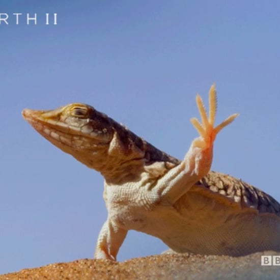 Dancing Lizard From Planet Earth II