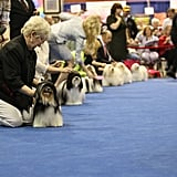 A lineup of sleekly coiffed Havanese awaits the judge. Source: AKC/Lisa Croft-Elliott