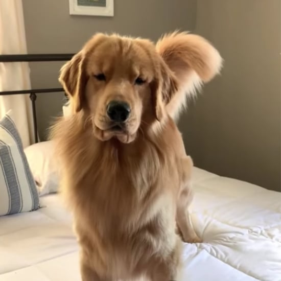 Golden Retriever Is Scared of Hair Straightener | Video