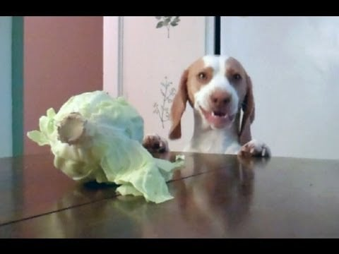 Dog Eats Cabbage I Video