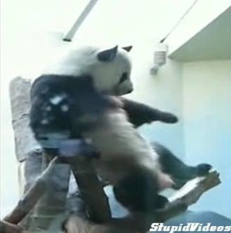 Panda Walks It Out
