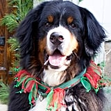 LilSugar Associate Editor Lisa Horten decked out her Bernese Mountain Dog, Jackson, in festive holiday garb.