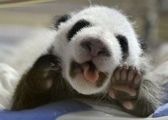 More Baby Panda Pics!