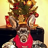 IT contractor David Billings helped his Chihuahua, Lola, get in the holiday spirit.