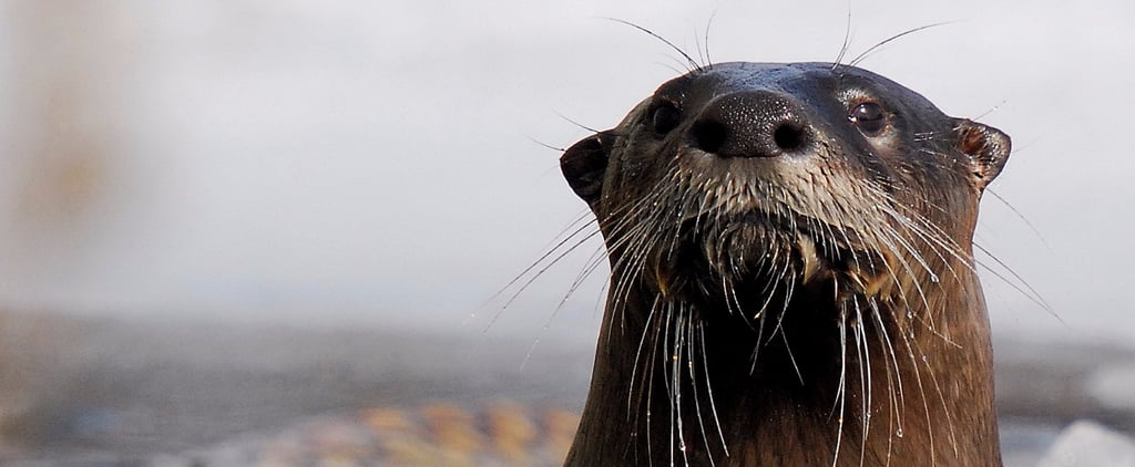 The Cutest Otter GIFs Ever to Ease the Pain of Brad Pitt and Angelina Jolie's Breakup