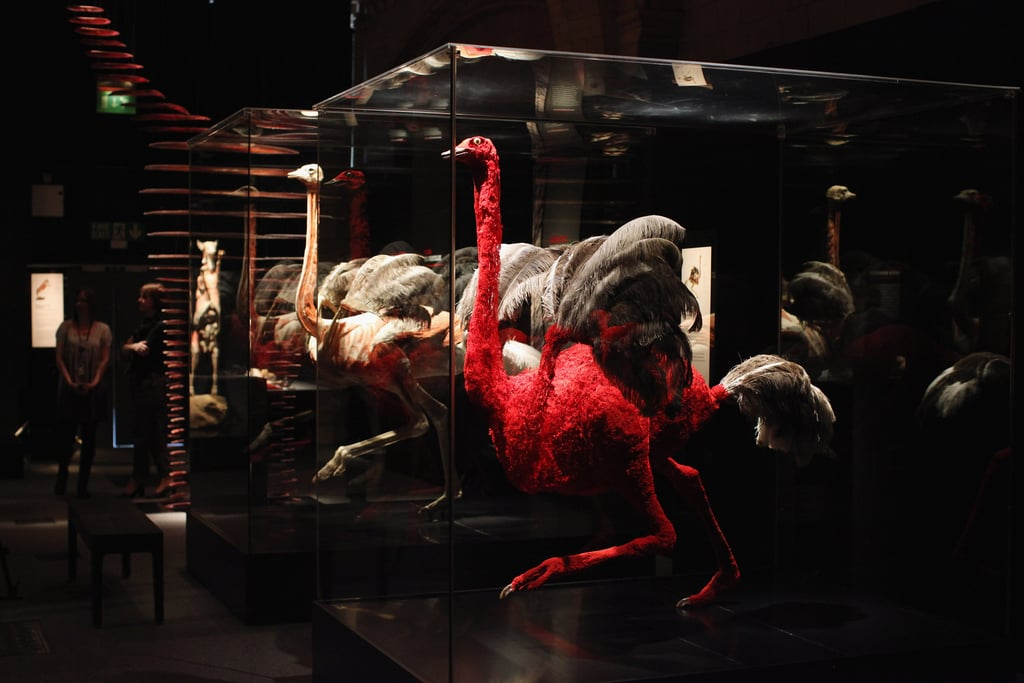 A display of ostriches show the muscular and circulatory systems of these enormous birds.