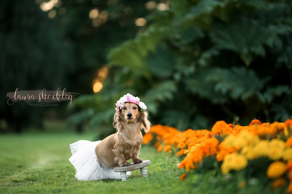 """Laura Shockley, a photographer from Lakewood, WA, has a knack for capturing tender moments. And given the fact she specializes in maternity and newborn photography, Laura knew she had to go above and beyond when she discovered her 2-year-old long-haired Dachshund, Sugar, was expecting. Putting her skills to use, Laura gave Sugar the full maternity experience — complete with a flower crown — and it was simply incredible.  """"Maternity and newborn photography is just a part of me, and Sugar is a part of me so I wanted to have a sweet memento to look back on. She's getting close to the end of her pregnancy and we took her for a day filled with pup cups and peanut butter treats, it ended with her maternity session. If people can feel special on their photo shoot days, so can Sugar!""""  Sugar is due between Sept. 1 and 7, and Laura is counting down the days until she gets to meet her pups. Scroll ahead to see this soon-to-be mama's full shoot!       Related:                                                                                                           These Extraordinary Underwater Maternity Photos Redefine Pregnancy Pictures"""