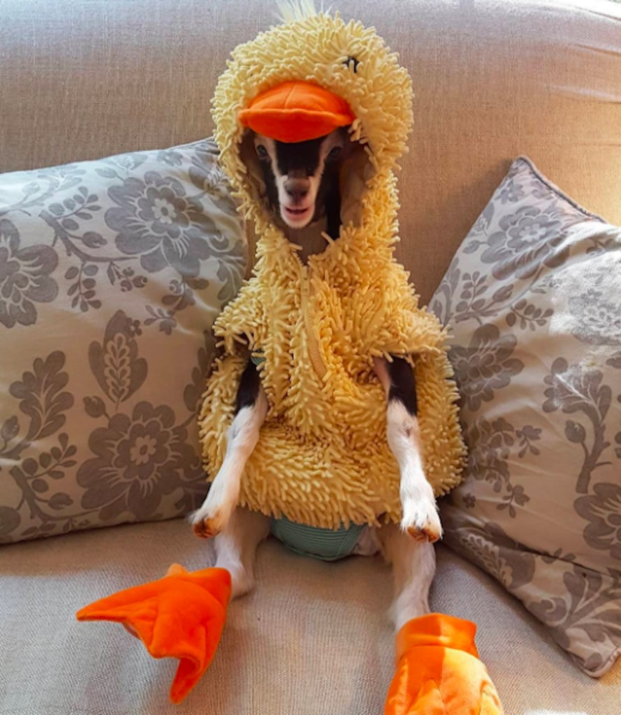 Goat Wearing Duck Costume