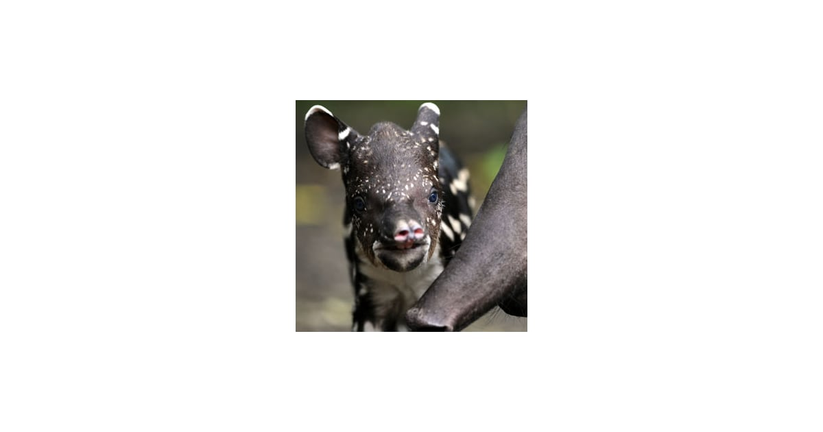 Pictures Of South American Tapir Popsugar Pets