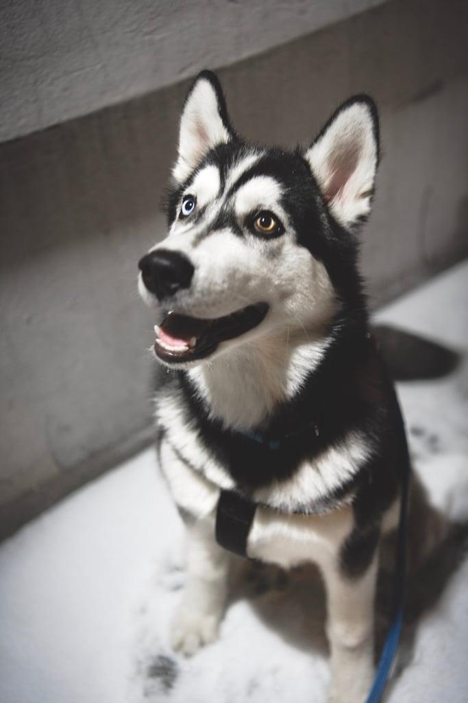Cute Pictures of Huskies