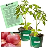 Clovers Garden Pink Girl Tomato Plants
