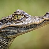 Crocodiles are biologically immortal.