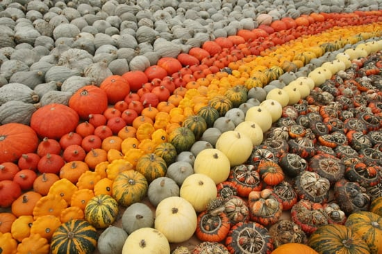 Midday Muse: A Plethora of Pumpkins